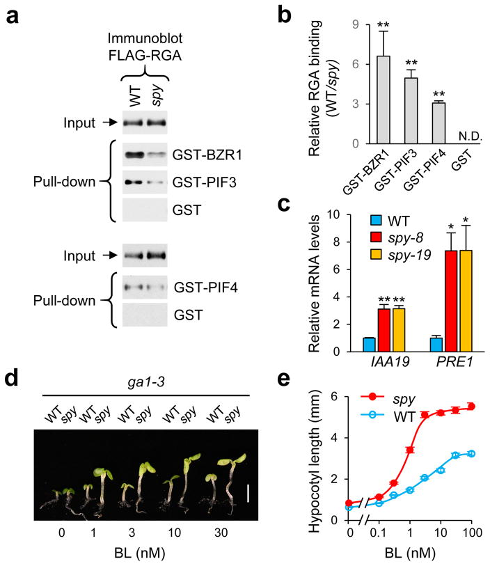 O -fucosylation enhances RGA activity by promoting RGA binding to its interactors ( a ) In vitro pull-down assay. Recombinant GST, GST-BZR1, GST-PIF3 and GST-PIF4 bound to glutathione sepharose beads were used separately to pull-down FLAG-RGA from protein extracts from Arabidopsis in WT SPY or spy-8 background. Immunoblots containing input Arabidopsis extracts and pulled-down samples, and FLAG-RGA was detected using an anti-FLAG antibody. Full blot images are shown in Supplemetary Fig. 12 . Ponceau S-stained blots showed similar amounts of the GST/GST-fusion proteins were used in each pair of the pull-down assays ( Supplementary Fig. 8b ). ( b ) Relative binding of FLAG-RGA (from WT vs spy background) to GST-fusion proteins. The data are means ± SE (3 biological replicates). ** p