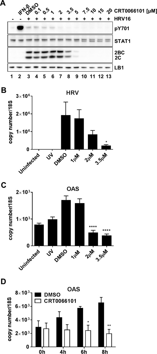 Effect of CRT0066101 on interferon signaling. (A) Effect of CRT0066101 on STAT1 phosphorylation at residue Y701 in HeLa cells infected with HRV16. Cells were either untreated (lane 1) or treated with 30 U/ml IFN-β for 15 min (lane 2), the DMSO vehicle (lane 3), or increasing concentrations of CRT0066101 for 1 h, followed by a 6-h replication period. Cell extracts were prepared and analyzed by Western blotting with antibodies to pSTAT1 Y701, STAT1, HRV 2C, and LB1. Data shown are representative of results from three independent experiments. (B and C) To determine the effect of CRT0066101 on ISG expression, RNA was extracted from HRV16-infected HeLa cells after 20 h of culture in the presence of the DMSO vehicle or 1 μM, 2 μM, or 3.5 μM CRT0066101. UV-inactivated virus was included as a control. Viral replication was confirmed by measuring the levels of HRV16 RNA (HRV) (B) and OAS mRNA (C) as a representative ISG. The results are the means (±SEM) of data from four independent experiments, each performed in duplicate. Differences between infected DMSO-treated cells and infected CRT0066101-treated cells were determined by one-way ANOVA with Dunnett's post hoc analysis. *, P