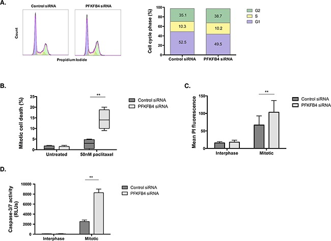 PFKFB4 depletion increases death of mitotically arrested SKOV3 cells A . Cell cycle analysis after siRNA-mediated depletion of PFKFB4 for 72 h was assessed by propidium iodide staining and flow cytometry. B . Mitotic cell death was assessed using time-lapse microscopy for 16 h and following the fate of over 200 mitotically arrested cells in each condition. C . After PFKFB4 depletion and mitotic cell isolation, the incorporation of propidium iodide was assessed by flow cytrometry and D . the activity of caspases 3 and 7 was measured using the Caspase-Glo 3/7 assay. Data are expressed as the mean +SEM of three experiments.