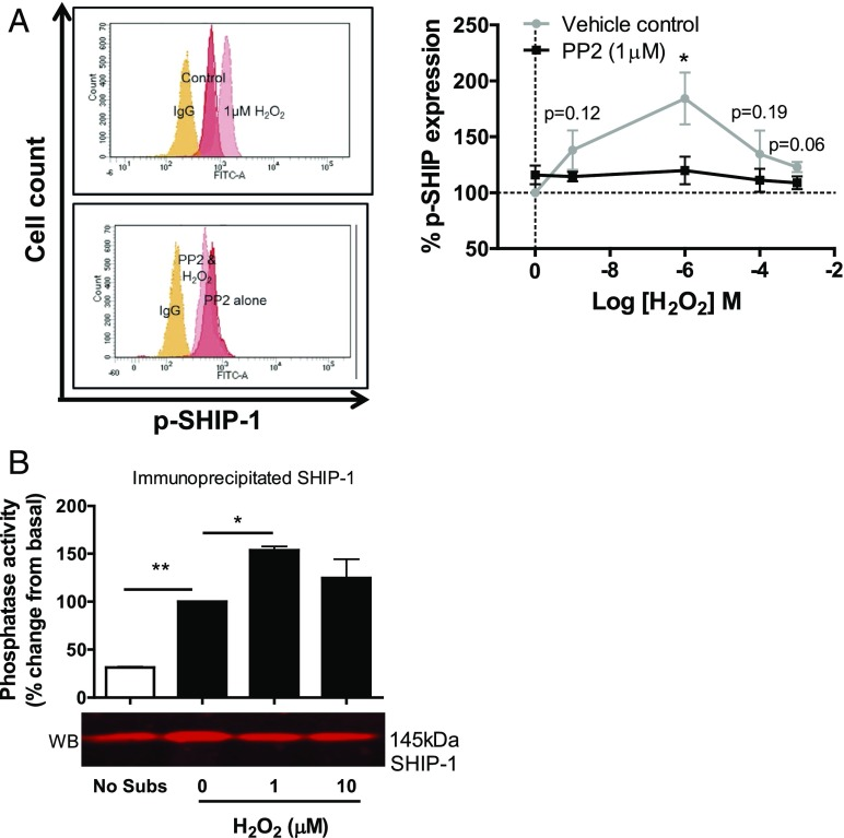 H 2 O 2 requires an SFK to phosphorylate and enhance the catalytic activity of SHIP-1. ( A ) The left panel shows a representative FACS overlay from one donor showing the effect of H 2 O 2 on anti–phospho-SHIP-1 levels in T cells with or without PP2 treatment (1 μM). The right panel shows the mean values ± SEM from four independent donors. ( B ) Effect of H 2 O 2 (1 μM) on the catalytic activity of SHIP-1 protein immunoprecipitated from 1 × 10 6 SEB-activated T lymphocytes. Catalytic activity was quantified using a malachite green phosphatase assay, and protein concentration was determined by Western blot. Data are mean values ± SEM of three independent experiments. * p