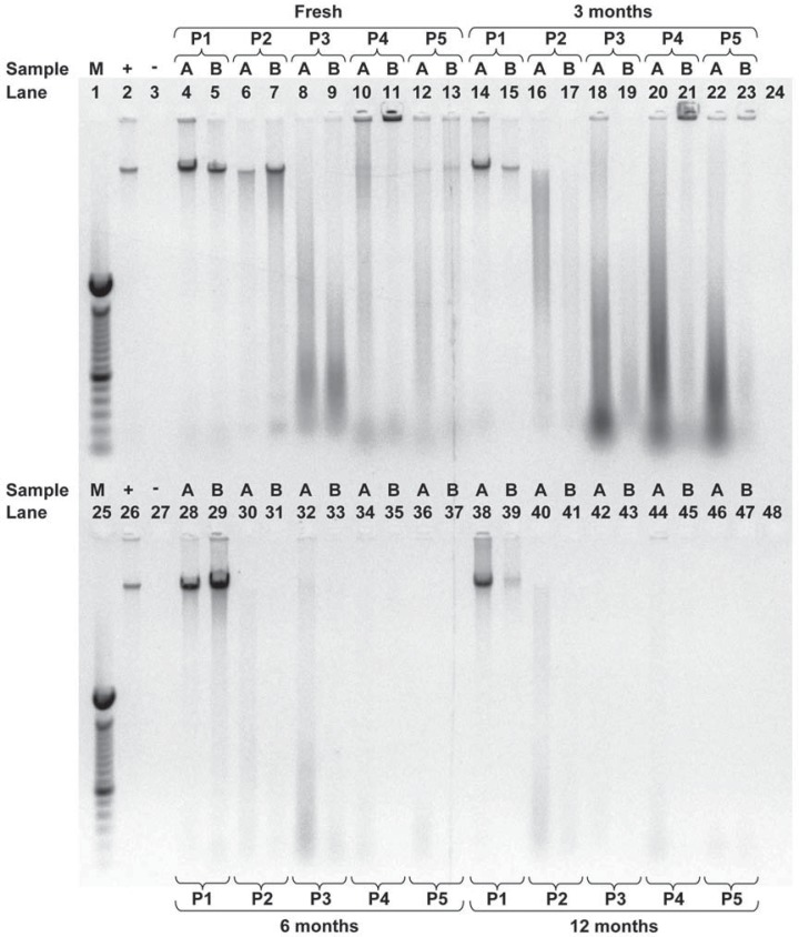 An example of a gel from 5 different extraction protocols when DNA was extracted from fresh saliva or saliva stored for 3, 6 or 12 months investigating whether samples were fragmented. DNA samples from 2 individuals (A, B) were electrophoresed using a 0.8% agarose gel in Tris-acetate (200 mM) with EDTA (50 mM) buffer. Lanes 1 and 25 contain the 100 bp molecular weight standard (M); lanes 2 and 26 contain the positive control (+), 115 ng of human DNA; lanes 3 and 27 contain the negative control (-), 8 µL of ddH2O; lanes 24 and 48 were left blank; all other lanes contain 8 µL of extracted DNA from either volunteer A or B. Protocol 1 (P1) used the Oragene™ kit; protocol 2 (P2) used the QIAamp® DNA Mini kit; protocol 3 (P3) used ammonium acetate, protocol 4 (P4) used the InstaGene™ Matrix kit; protocol 5 (P5) used the InstaGene™ kit with proteinase K and 1% SDS
