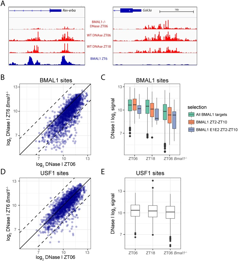 Chromatin accessibility in Bmal1 -/- mice at ZT6 is generally similar as in the Wild-Type (WT) mice but is lower at BMAL1 sites. A. The Rev-erbα (left) and Gsk3a (right) promoters. DNase I signal (in red) is strongly reduced in Bmal1 -/- mice at sites bound by CLOCK:BMAL1 in WT mice (BMAL1 chromatin immunoprecipitation followed by DNA sequencing (ChIP-seq) signal in blue) in the Rev-erbα promoter but is similar in WT and Bmal1 -/- mice at the Gsk3a promoter that are not bound by BMAL1. The vertical scale is the same for all three DNase I tracks, as well as for both BMAL1 ChiP-seq tracks. Wild-type ZT18 signals are lower (about half) than at ZT6 in both genes but not as low as in the Bmal1 -/- mice. B. Comparison of DNase I signals at ZT6 in Bmal1 - /- versus WT mice. All DNase I hypersensitive sites (DHSs) overlapping BMAL1 ChIP-seq peaks in [ 17 ] are shown ( n = 1,555). The dashed lines indicate 4-fold difference. C. Boxplots showing DNase I intensity at the same sites as in B, at peak (ZT6) and trough (ZT18) activities of BMAL1 in the WT, and at ZT6 in Bmal1 -/- mice for all BMAL1-binding sites (green), BMAL1 sites with an associated expression phase between ZT2 and ZT10 (orange), and with a tandem E-box (grey). All pairwise comparisons (within the same color) between either ZT6 versus ZT18 or ZT6 versus ZT6 Bmal1 -/- are significant ( p