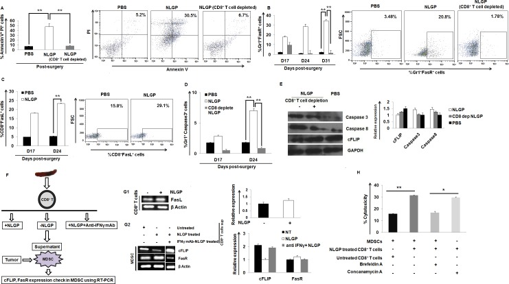CD8 + T cells downregulate MDSCs in Fas dependent pathway. (A) Percentage of Annexin V-PI + MDSCs within the blood of PBS, NLGP, CD8 + T cell depleted NLGP immunized mice (n = 6). (B) Flow cytometric assessment of Gr1 + FasR + MDSCs in post-surgery PBS-, NLGP-treated mice with or without CD8 + T cell depletion. (C) Expression of FasL within CD8 + T cells in mice with tumor surgery in PBS and NLGP immunized mice. (D) Flow cytometric assessment of Caspase 3 within Gr1 + MDSCs in PBS, NLGP and CD8 depleted NLGP immunized mice. (E) Protein level expression of Caspase 3, Caspase 8 and cFLIP within MDSCs from PBS, NLGP and CD8 depleted NLGP immunized surgically tumor removed mice. (n = 6, in each group). (F) Experimental design with MDSCs and CD8 + T cells. (G1) Expression of FasL within NLGP-treated CD8 + T cells. (G2) Expression of cFLIP and FasR within MDSCs in the presence and absence of supernatants from NLGP-treated CD8 + T cells, with or without IFNγ neutralization. (H) Assessment of the cytotoxic potential of NLGP-treated CD8 + T cells towards tumor-derived MDSCs, in the presence of Brefeldin A and Concanamycin A. (** p