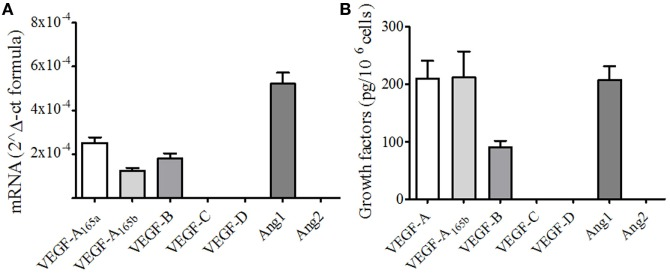 """Human neutrophils (PMNs) constitutively express different forms of vascular endothelial growth factors (VEGF) and angiopoietins . (A) VEGFA 165a , VEGFA 165b , VEGFB, VEGFC, VEGFD, Ang1 , and Ang2 mRNA expression in PMNs. The results are the mean ± SD of four different preparations of PMNs. RNA extraction from resting PMNs and RT-PCR was performed as described under Section """" Materials and Methods ."""" (B) Detection of VEGF and Ang proteins. Freshly isolated PMNs were lysed in Tryton 0.1%, and the concentrations of VEGFs and Angs were determined by ELISA. The results are the mean ± SD of six different preparations of PMNs."""