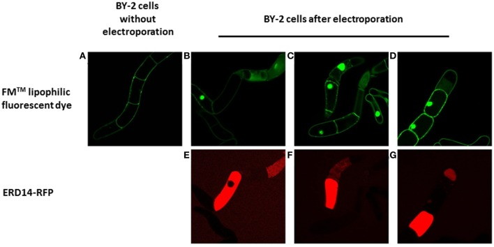 Fluorescent microscopy analysis of the transient permeabilization of BY-2 cells by electroporation with the lipophilic styryl fluorescent dye FM and ERD14-C186-Alexa Fluor 647 . Normal BY-2 cells before being electroporated (A) are not permeable to FM (green). BY-2 cells in which the plasma membrane is disrupted by electroporation (B–D) display incorporation of FM that is mainly located at the nucleus. ERD14-C186-Alexa Fluor 647 penetrates the inner space of BY-2 cells after electroporation (E–G) .