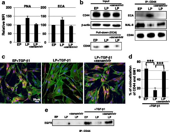 Defect in raft localization of CD44 during the process to senescence was restored by treatment with a sialidase inhibitor. a Cell surface glycans in early passage ( EP ), late passage ( LP ), and zanamivir (2 mM)-treated LP fibroblasts were analyzed by FACS using lectins. Mean fluorescent intensities ( MFIs ) relative to those of control cells are shown. Results are presented as means ± SD from three independent experiments. b Total cell lysates from EP, LP, and zanamivir-treated LP fibroblasts were pulled down with ECA. Immunoblotting of CD44 was performed on ECA-binding proteins ( left ). In addition, immunoprecipitation ( IP ) of CD44, followed by immunoblotting of ECA, MAL-II, and CD44, was performed ( right ). Representative images are shown. c Immunocytochemical staining was performed in EP, LP, and zanamivir-treated LP fibroblasts after transforming growth factor ( TGF )-β1 treatment. Representative images are shown (GM1, red ; CD44, green ; DAPI, blue ; colocalization, yellow ). d The histogram shows the mean ± SD percentage of GM1-CD44 colocalized cells colored yellow , as shown in ( c ), from two independent experiments (total of six fields); *** P