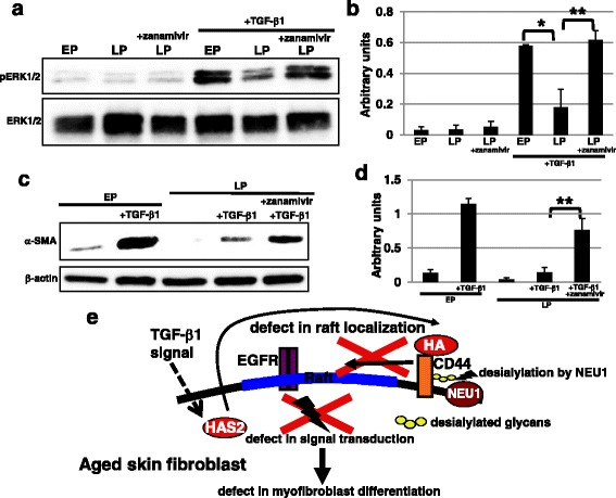 Age-dependent reduction of myofibroblast differentiation was restored by a sialidase inhibitor. a , b Western blot analysis of phosphorylated extracellular signal-related kinase ( pERK ) was performed in early passage ( EP ), late passage ( LP ), and zanamivir (2 mM)-treated LP fibroblasts. The histogram ( b ) shows mean densitometric readings ± SD for the phosphorylated proteins normalized to the loading controls. Values were obtained from three independent experiments. *P