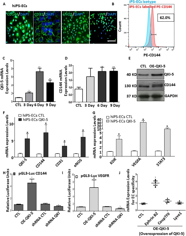 QKI‐5 has a key role in endothelial cell (EC) differentiation derived from human induced pluripotent stem cells (hiPSCs). (A) : hiPSCs were generated and differentiated on low attachment plates using StemPro serum free media supplemented with BMP4, Activin A, fibroblast growth factor, and vascular endothelial growth factor (VEGF) for 5 days. KDR (VEGFR) positive population was selected using MicroBeads and cultured on Fibronectin coated plates supplemented with EGM‐2 media for 3–9 days. iPS‐ECs‐derived cells expressed a typical pattern for EC specific markers CD144, CD31, eNOS, and vWF as immunofluorescence images shown. (B) : FACs analysis showing cells positive for EC specific marker CD144 (C, D) QKI‐5 was expressed during EC differentiation in parallel with VE‐cadherin expression in mRNA level. (E–G) QKI‐5 was overexpressed by lentiviral gene transfer in hiPSCs on day 3 after KDR selection and the cells were harvesting on day 6 of EC differentiation showing a significant induction of the EC markers CD144, CD31, and eNOS, and signaling of VEGFR (KDR), VEGFA, and STAT3 as Western blots and real time data shown. (H, I) Luciferase assays shown that QKI‐5 induced the transcriptional activation of CD144 and VEGFR. (J) : Overexpression of QKI‐5 directs differentiation toward arterial EC as cells express specific marker Ephrin B2 and not venous (CoupTFII) or lymphatic (Lyve1) EC markers (data are means ± SEM [ n = 3]; *, p