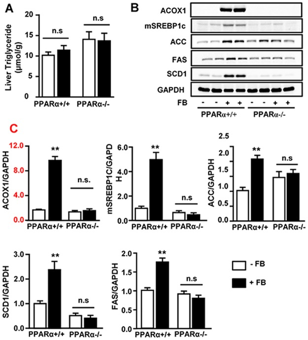 Effects of FB on hepatic TG content and the lipogenic pathway in PPARα +/+ and PPARα -/- mice. Fenofibrate (+ FB) was administered to PPARα +/+ and PPARα -/- mice on the background of C57BL/6N at a dose (50 mg/kg/day) for 3 weeks. (A) Effects on triglyceride (TG) content. (B) Representative images and (C) Quantification of Western blots for ACOX1 (peroxisomal <t>acyl-CoA</t> oxidase 1, PPARα activation marker) and lipogenic proteins: mSREBP1c (matured form of sterol regulatory element-binding protein 1 c), <t>ACC</t> (acetyl-CoA carboxylase), FAS (fatty acid synthase) and SCD1 (stearoyl-CoA desaturase 1). ** p