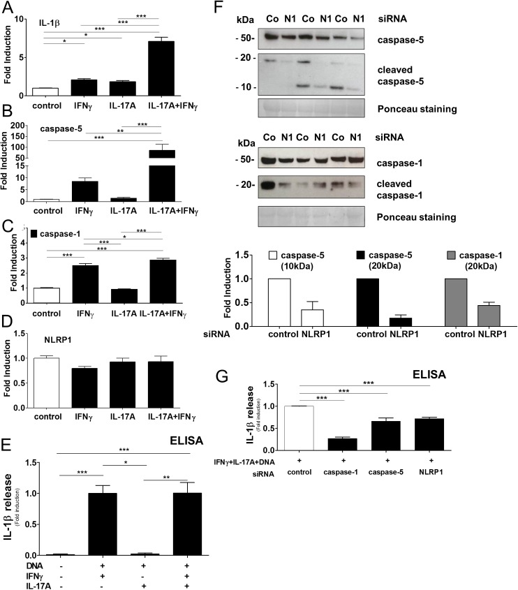 IL-17A amplifies caspase-5 induction and controls NLRP1-mediated IL-1β release by epidermal keratinocytes. A-D, Regulation of IL-1β, caspase-1, caspase-5, NLRP1in IFNγ- and IL-17A -stimulated keratinocytes analyzed by RTqPCR and normalized to β-actin. Data represent mean + SEM of three independent experiments performed in triplicates *, p