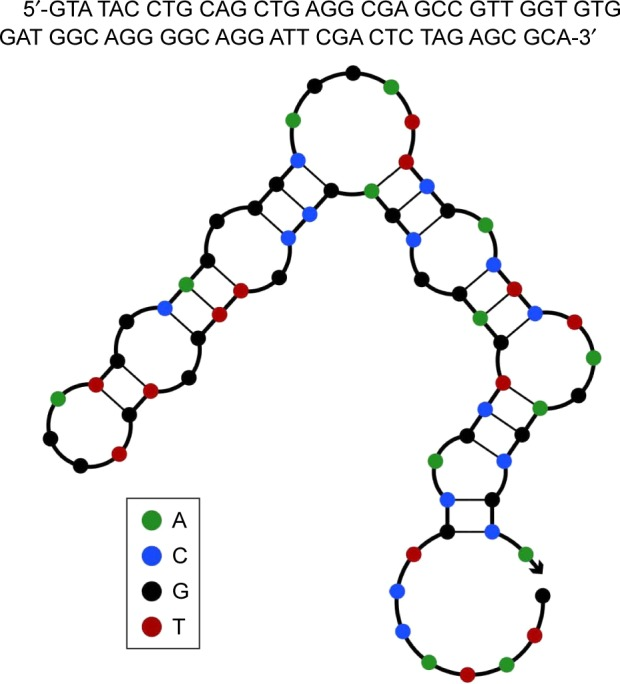 Aptamer A11 predicted structure. Note: The sequence of A11 aptamer and its two-dimensional structure prediction by NUPACK software, showing distinct stem-loop structure involving both the random region and the primer regions.