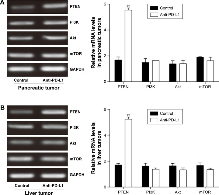 Effect of anti-PD-L1 antibody on expression of mRNA for components involved in the PI3K/Akt/mTOR pathway. Notes: The levels of PTEN, PI3K, Akt, and mTOR mRNA expression in pancreatic tumor tissue ( A ) and spontaneous liver metastases ( B ) were examined by RT-PCR. The mean levels of PTEN, PI3K, Akt, and mTOR mRNA expression were shown in representative images (left) and quantitative analysis demonstrating the average of three separate experiments (right). Data represent the mean ± SD (n=5). ** P