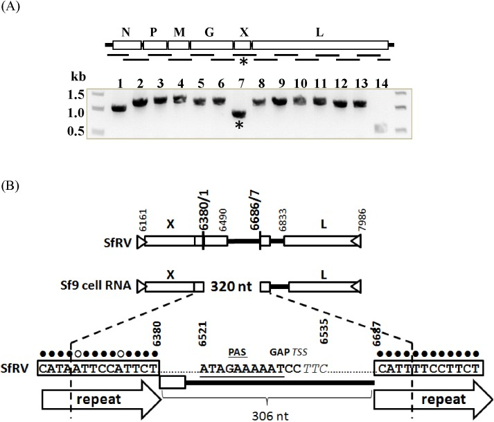 (A). RT-PCR of total RNA from Sf9 cells. Primers were designed to amplify 14 target sequences that cover 99.1% of the reported Sf-rhabdovirus RNA in an overlapping manner as indicated by the gene schematic. Sizes of 13 target sequences ranged from ~1.0 to 1.3 kb (lanes 1–13) and one target sequence was ~0.5 kb (lane 14). The sizes of amplicons matched the expected sizes of target sequences except for one amplicon (*, lane 7), which was amplified by primers targeting bp 6965–7134. (B). Sequencing of the amplicon revealed a deletion of 320 bp at position 6371–6690 in Sf-rhabdovirus RNA. The 320 bp deletion contains the 3' region of ORF-X and a part of the intergenic region between ORF-X and ORF-L that includes rhabdovirus conserved transcription motifs for the X and L genes.