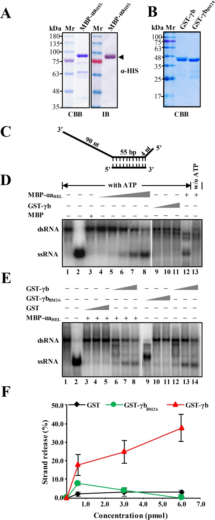 Enhancement of αa HEL protein RNA duplex unwinding by the γb protein. Panel A : SDS-PAGE and immunoblot analysis of purified MBP-αa HEL protein. The recombinant MBP-αa HEL protein containing a histidine tag and the αa helicase domain fused to the C-terminus of the maltose binding protein was expressed in E . coli strain BL21 and purified over Ni−NTA <t>agarose</t> columns. SDS-PAGE staining with Coomassie brilliant blue (CBB) is shown on the left side and immunoblot analysis (IB) with α-HIS antibodies is shown on the right side. Panel B: SDS-PAGE analysis of GST-tagged γb derivatives purified from E . coli . Sizes (in kDa) of molecular weight markers (Mr) are shown on the left sides of the blots. Panel C : Schematic depiction of the dsRNA substrate used for RNA unwinding assays. Preparation of the radioactive labeled substrate is described in the Materials and Methods and in S2 Table . The long and short thick lines indicate the template RNA strands, and vertical dashed lines represent regions of base pairing. The lengths of the double-stranded and overhanging portions of the RNA strands are given in base pairs (bp) and nucleotides (nt), respectively. Panel D. RNA helicase activities of the purified MBP-αa HEL and GST-γb proteins in the presence or absence of ATP. The mobility of the radioactive labeled RNAs was tested using native acrylamide gel electrophoresis followed by phosphor imaging. Lane 1, migration of the partial dsRNA band. Lane 2, migration of single-stranded RNA produced by heating the dsRNA substrate at 95°C for 5 min. Lane 3, Negative control showing lack of helicase activity of purified MBP. Lanes 4–8, RNA unwinding reactions containing increasing amounts of purified MBP-αa HEL (1.8–6.2 pmol) in the presence of 5 mM ATP. Lanes 9–11, RNA unwinding reactions containing increasing amounts of purified GST-γb (1.8–6.2 pmol) in the presence of 5 mM ATP. Lanes 12–13 indicate the RNA helicase activity of MBP-αa HEL with ATP or without (w/o) addition of ATP to the reaction mixture. Note: Lanes 1–8 and 9–13 were separated on separate gels. Panel E. dsRNA unwinding of MBP-αa HEL in RNA helicase reactions containing wt GST-γb, GST-γb BM26 or GST. Helicase assays were carried out with 4.4 pmol of the MBP-αa HEL protein in the presence of increasing concentrations (0.5, 3.0, 6.0 pM) of GST (lanes 3–5), γb (lanes 6–8, 12–14) or γb BM26 (lanes 9–11) respectively. Positions of the partial dsRNA substrate and the released 55 nt 32 P ssRNA strand product are indicated on the left (lanes 1–2). Note: Lanes 1–8 and 9–14 were separated on separate gels. Panel F: Quantification of dsRNA unwinding efficiency shown in Fig 7E. The results are plotted as percentages of ssRNA release compared to the ssRNA in lane 2.