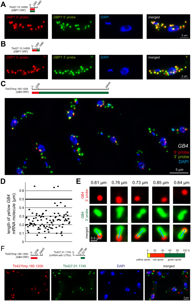 Technical controls and the definition of a yellow spot. ( A ) Red and green fluorescence in situ hybridization <t>(FISH)</t> probes were designed to anneal to the same <t>mRNA</t> sequence of an average-sized mRNA (Tb427.10.14550). The signals from the two probes showed a strong overlap. One representative cell is shown; more cells are shown in Supplementary Figure S2 . ( B ) Red and green FISH probes were designed to anneal to adjacent mRNA sequences of the same, average-sized mRNA. The signals from the two probes again showed a strong overlap. One representative cell is shown; more cells are shown in Supplementary Figure S3 . ( C–E ) Trypanosome cells were simultaneously probed with the 5΄ probe (red) and the 3΄ probe (green) specific for the GB4 mRNA (Tb427tmp.160.1200) (details on top left of C). Together, these probes cover the entire 24 645 nucleotides of the GB4 open reading frame: the 5΄ probe binds to the 2256 nucleotides at the 5΄ end and the 3΄ probe to the remaining 22 389 nucleotides. ( C ) One representative Z-stack projection image with merged fluorescence channels is shown. ( D ) The length of 100 yellow GB4 mRNA molecules was measured from Z-stack projection images. In total, 97% are less than 0.5 μm in length (D). ( E ) Example images of very extended GB4 mRNA molecules; the length is indicated on top and the blue line shows how the length measurement was performed (from the middle of the 'red circle' to the middle of the most distant 'green circle' at the end of the green string). These very long mRNA molecules are rare and never longer than 1.0 μm. ( F ) Trans-probing: dual colour mRNA FISH using probes antisense to two different mRNAs (details on top left). The percentage of red, green and yellow spots was quantified from 152 cells (top right). The average cell had 7.3 ± 2.8 mRNA molecules. A representative image is shown (bottom).