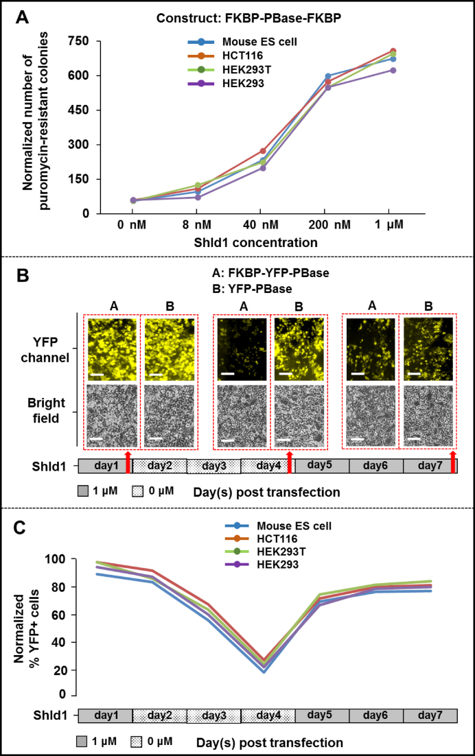 Tunability and reversibility of the FKBP-based PB transposon induction system. ( A ) FKBP-PBase-FKBP activity is tunable. Cells were transfected with donor and helper plasmids (FKBP-PBase-FKBP) and subjected to various concentrations of Shld1: 0 nM, 8 nM, 40 nM, 200 nM and 1 μM. The normalized number of puromycin-resistant colonies observed is plotted versus the Shld1 concentration for four cell lines. ( B ) Shld-1 induction is reversible. Fluorescent images are taken at various timepoints after induction with 1uM Shld1 or removal of Shld1 from transfected HEK293T cells. The white scale bar equals 50 μm. The red arrows indicate the time points of measurement. Bright field and fluorescent images were shown at top and bottom panel respectively. ( C ) Quantification of the reversibility of Shld-1 induction. The cells imaged in panel B were quantified by FACS. The normalized percentage of YFP positive cells is plotted at each time point for four cell lines.