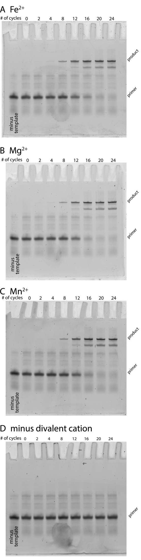 Fe 2+ or Mn 2+ can replace Mg 2+ as a cofactor for Deep Vent (exo-) <t>DNA</t> polymerase. Reaction mixtures with Fe 2+ or Mg 2+ or Mn 2+ or no divalent cation were analyzed for amount of reactants and products at every other <t>PCR</t> cycle for 24 cycles. Reactant consumption and product yields are identical within the uncertainty of this experiment among ( A ) Fe 2+ , ( B ) Mg 2+ or ( C ) Mn 2+ . ( D ) The divalent-minus controls, which lack divalent cations, did not generate product. Neither did the 'minus template' negative control reactions (far left lanes of each gel), taken through 24 cycles, generate product.