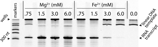 Fe 2+ can replace Mg 2+ as a cofactor in transcription by T7 RNA polymerase. Full length RNA transcript is observed with either Mg 2+ or Fe 2+ . No product is observed in the no-divalent negative control. The far left lane contains ssRNA size markers. The top of the gel contains large and/or aggregated nucleic acids that remain in the wells during electrophoresis.