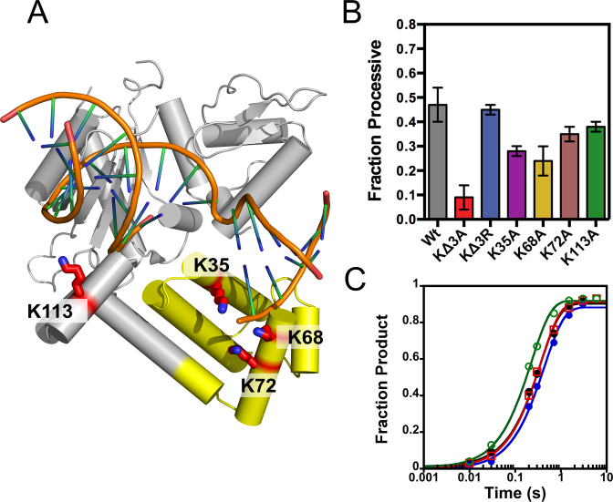 Pol β uses the positively charged 8-kDa lyase domain for processive searching. Crystal structure of Pol β bound to a 1-nt gapped DNA (PDB 3ISB). ( A ) The lysine residues mutated to alanine are shown as red sticks. Lysines 35, 68 and 72 reside in the lyase domain (yellow) and K113 within the 31-kDa domain (gray). ( B ) The fraction processive at 100 mM ionic strength was measured using the P20 substrate with each mutant Pol β under standard reaction conditions. The mean and standard deviation is shown for three independent experiments. ( C ) Single-turnover analysis for Pol β catalyzed nucleotide insertion measured with indicated mutant enzymes at 100 mM ionic strength. The Wt data is shown as black circles, KΔ3A as red squares, KΔ3R as blue circles, and K113A as green open circles. The nucleotide insertion rate constant ( k pol ) is comparable among the variant enzymes: Wt (2.8 ± 0.2 s −1 ), KΔ3A (2.3 ± 0.2 s −1 ), KΔ3R (2.8 ± 0.2 s −1 ) and K113A (4.4 ± 0.2 s −1 ).