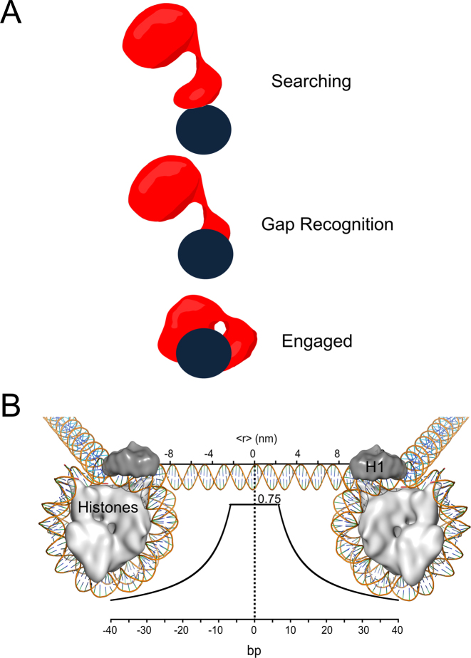 Models of Pol β searching and gap recognition. ( A ) Proposed modes of Pol β substrate search and recognition. The dark blue circle represents DNA and is positioned such that the viewpoint is looking down DNA. Pol β is shown as a red cartoon. In the searching mode, Pol β is proposed to mainly use its lyase domain to scan DNA in a hopping mechanism. Once a gap is encountered, the lyase domain makes specific interactions with gapped DNA, allowing for the 31-kDa domain to engage. ( B ) The probability of Pol β locating and catalyzing nucleotide insertion within a single DNA binding encounter near predicted physiological ionic strength. The curve represents the fit to the hopping equation shown in Figure 5 . The y-axis represents the probability, or fraction processive (0-1), of Pol β successfully locating and catalyzing nucleotide insertion. The bottom x-axis represents the number of base pairs and the top axis is the corresponding distance (nm). An approximant DNA linker length of 56 bps is shown for reference. This model can be most easily interpreted by using the origin as the site of DNA damage (a 1-nt gap). A horizontal line ∼6 bp down and up-stream from the origin at a probability of 0.75 indicates that when Pol β binds within 6 bp of damage it has a 0.75 chance of catalyzing nucleotide insertion ( Supplementary Figure S4 ). If Pol β binds ∼10 bp down or up-stream from a 1-nt gap it has ∼50% chance of locating and catalyzing nucleotide insertion. Of the Pol β molecules that are processive, 50% will travel a distance of ∼12 bp down or up-stream, resulting in a mean search footprint of ∼24 bp.