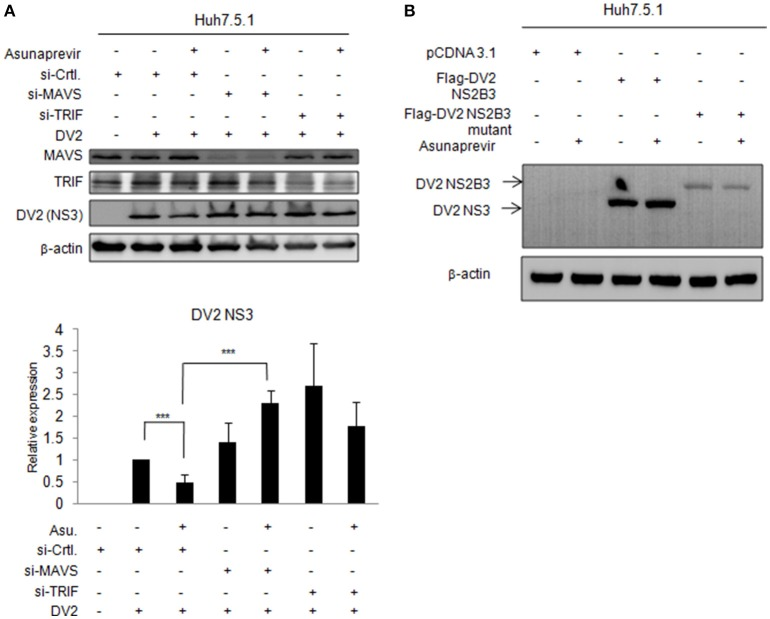 Effects of asunaprevir on replication of DENV in Huh 7.5.1 cells after knockdown of MAVS and TRIF by siRNA. (A) Huh 7.5.1 cells infected with DENV were transfected by siRNA of MAVS and TRIF for 48 h and then treated with asunaprevir. Immunoblotting analysis for NS3 protein of DENV, MAVS, and TRIF were determined by immunoblotting Analysis (upper panels). The DENV NS3 protein levels relative to the β-actin were shown at the bottom of each sample. Densitometry was performed with ImageJ software (lower panel). Data are mean ± SD from 3 independent tests. Student's t -test was used as statistical test, *** P