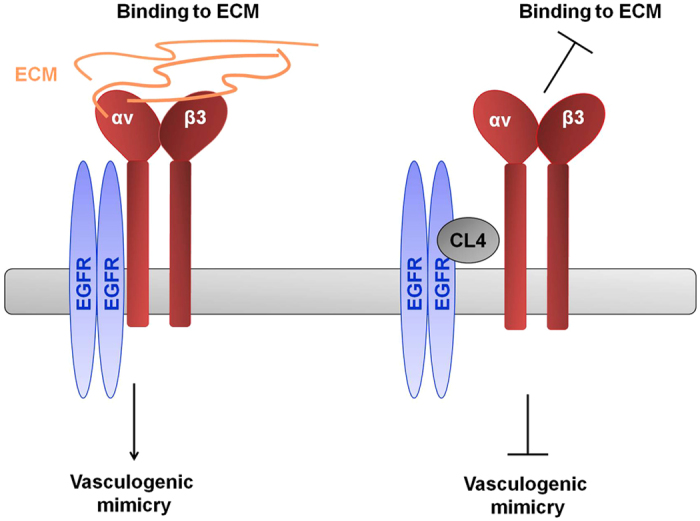 Proposed mechanism of action for CL4 aptamer related with integrin αvβ3-EGFR interaction. By binding to EGFR, CL4 aptamer impairs integrin αvβ3-EGFR interaction, causing inhibition of integrin binding to matrix and, in turn, VM.