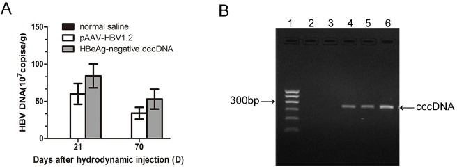 Detection of viral titers and cccDNA in mouse liver tissue. A. HBV <t>DNA</t> was detected in liver by qPCR. B. Detection of cccDNA by rolling circle amplification-PCR. Lane 1: 100 bp ladder; lane 2: <t>pEASY-HBV/HBeAg-negative</t> plasmid as the template; lane 3: linear HBV as the template. The pEASY-HBV/HBeAg-negative plasmid was digested by BspQI and the products served as a template; lane 4: experimental group at 21 days post-injection (dpi); lane 5: experimental group at 70 dpi; lane 6: circularized DNA served as the template.