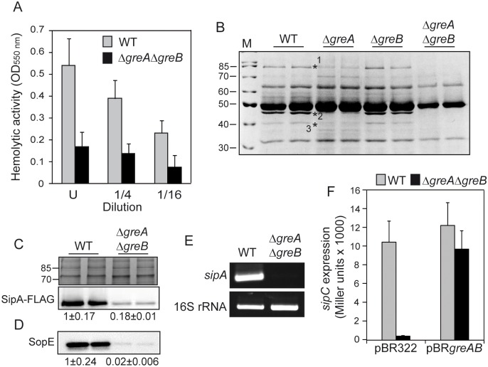 The Gre factors affect the expression of SPI-1 effector proteins. (A) Contact haemolysis assays with cell-free supernatants from cultures of the WT and Δ greA Δ greB derivative strains. The haemolytic activity of LB bacterial cultures of WT and Δ greA Δ greB strains was monitored as an increase in the OD 550nm of the supernatant of a blood suspension with serial dilutions of cell-free supernatants. U: undiluted supernatant. Three independent bacterial cultures were tested. (B) Cell-free supernatants of two independent LB cultures of WT (SV5015) and its Δ greA , Δ greB and Δ greA Δ greB derivatives. Extracts were analyzed by Coomassie blue stained 12.5% SDS-PAGE. Lane M: molecular mass markers (size in kDa indicated). The bands labelled were identified as SipA (1), FliD (2) and SipC (3) by LC-MS/MS. (C) Immunodetection (lower panel) of the SPI-1 encoded SipA-FLAG protein in whole culture extracts from two independent cultures of WT and Δ greA Δ greB derivative strains. The upper panel is a section of a Coomassie stained gel as a loading control. (D) Immunodetection of SopE protein was performed in extracts from WT and Δ greA Δ greB strains obtained from cell-free supernatants of two independent LB cultures. (E) Semiquantitative RT-PCR of sipA in total RNA samples from LB cultures of the WT (SV5015) and Δ greA Δ greB strains. 16S RNA was used as endogenous control to confirm that equivalent quantities of templates were used. (F) sipC transcriptional expression was tested in cultures of WT and Δ greA Δ greB derivative strains carrying a chromosomal sipC :: lacZ fusion and either pBR322 or pBR greAB . A bar shows the arithmetic mean of experimental results and the error bar indicates the standard deviation from three biological replicates. All cultures were grown in LB at 37°C with vigorous shaking (200 rpm) up to an OD 600nm of 2.0.
