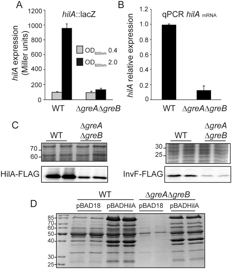 Gre factors are essential for HilA expression. (A) Transcriptional expression of hilA in WT and Δ greA Δ greB derivative strains. β-galactosidase activity from a hilA :: lacZ fusion was assessed in LB cultures grown at 37°C up to logarithmic (OD 600nm 0.4) and stationary growth phase (OD 600nm 2.0). (B) Relative hilA mRNA quantification by qPCR in WT and Δ greA Δ greB derivative strains. Results are normalized with gapA (GAPDH) as an endogenous control. RNA samples were extracted from cultures of WT and Δ greA Δ greB derivative strains grown in LB at 37°C up to an OD 600nm 2.0. In A and B, a bar shows the arithmetic mean of experimental results and the error bar indicates the standard deviation from three biological replicates. (C) Immunodetection of HilA-FLAG (lower left panel) and InvF-FLAG (lower right panel) proteins in whole cell extracts from cultures of WT and Δ greA Δ greB derivative strains grown as in B. The upper panels are sections of Coomassie stained gels as loading controls. (D) Cell-free supernatants of LB cultures, grown at 37°C up to an OD 600nm of 2.0, of WT and Δ greA Δ greB derivative strains carrying either pBAD18 or pBADHilA. Arabinose (0.02%) was added in all cultures. Extracts were analyzed by Coomassie blue stained 12.5% SDS-PAGE.