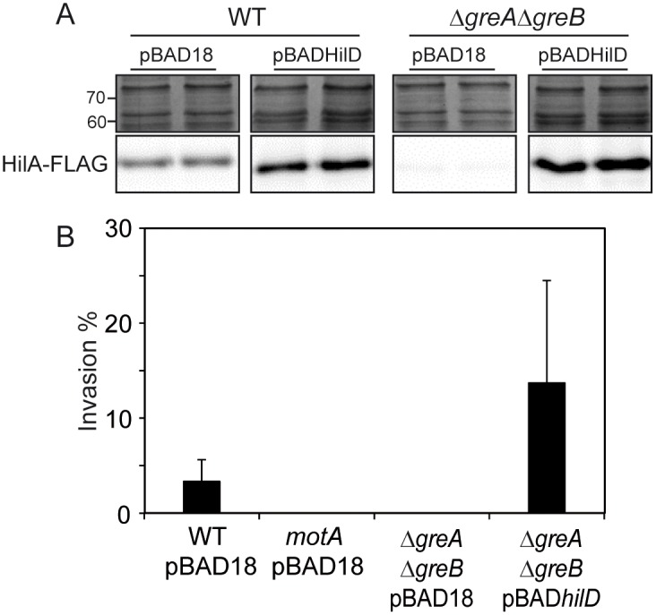 Overexpression of HilD restores HilA expression and epithelial cell invasiveness in Δ greA Δ greB strains. (A) In lower panels, immunodetection of the HilA-FLAG protein in whole cell extracts from cultures of WT and Δ greA Δ greB derivative strains carrying either pBAD18 or pBADHilD grown in LB at 37°C up to an OD 600nm of 2.0, arabinose (0.02%) was added in all cultures. The upper panels are sections of Coomassie stained gels as loading controls. (B) Invasion assays using WT, Δ motA and Δ greA Δ greB strains carrying the indicated plasmids. Bacterial cultures were grown as in Fig 1 . A bar shows the arithmetic mean of experimental results and the error bar indicates the standard deviation.