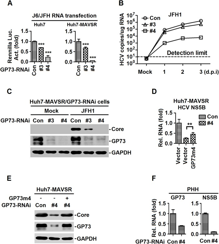GP73 facilitates HCV infection and replication. ( A ) GP73 -RNAi-transduced stable Huh7 or Huh7-MAVSR cells were transfected with in vitro transcribed FL-J6/JFH5'C19Rluc2Aubi RNA (J6/JFH) for 48 h, and Renilla luciferase activities were measured. ( B , C ) GP73 -RNAi-transduced stable Huh7-MAVSR cells were infected with HCV at MOI = 2 for indicated times. Intracellular HCV RNA abundance was determined by qRT-PCR (B), HCV core protein at 3 days post infection (d.p.i) was detected by WB (C). ( D , E ) Huh7-MAVSR-GP73-RNAi cells were transfected with GP73 -rescue plasmid ( GP73m4 ) for 24 h, followed by HCV infection at MOI = 2 for 3 days. HCV RNAs were determined by RT-PCR (D) and HCV core protein was detected by WB (E). ( F ) PHHs were transduced with GP73 -shRNA lentivirus for 48 h, followed by HCV infection at MOI = 2 for 2 days. HCV RNA levels were determined by RT-PCR. Bar graphs represent means ± SD, ** P
