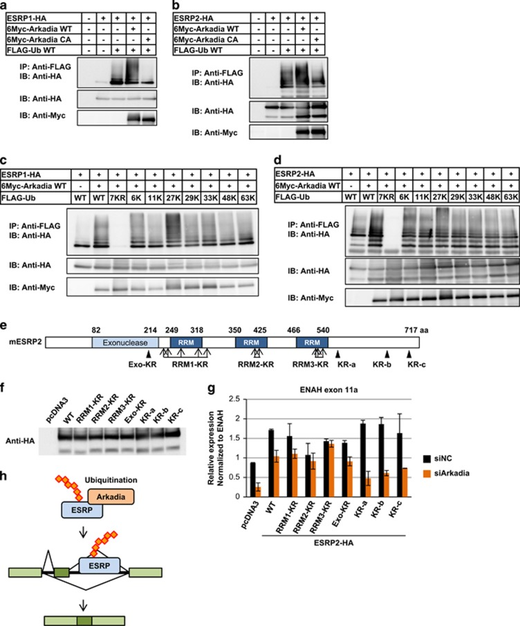 Modulation of the splicing function of ESRP2 by Arkadia through ubiquitination. ( a and b ) Immunoprecipitation assay using HEK293T cells transiently transfected with ESRP1 ( a ) or ESRP2 ( b ), Arkadia wild-type or CA mutant, and ubiquitin. IP, immunoprecipitation; IB, immunoblotting; Ub, ubiquitin; WT, wild-type. ( c and d ) Immunoprecipitation assay using HEK293T cells transiently transfected with ESRP1 ( c ) or ESRP2 ( d ), WT Arkadia, and ubiquitin WT or its mutants. 7KR: all seven lysine residues are substituted by arginine residues; 6, 11, 27, 29, 33, 48 and 63K: one lysine residue is intact, but the others are substituted by arginine residues. KR, lysine-to-arginine mutation. ( e ) Schematic representation of ESRP2-KR mutants. ( f ) Immunoblot analysis to examine the protein expression of WT or ESRP2-KR mutants overexpressed in HEK293T cells. ( g ) qRT–PCR analysis of ENAH exon 11a expression in HEK293T cells transiently transfected with WT or ESRP2-KR mutants upon Arkadia knockdown. Data were normalized to total ENAH. Error bars indicate s.d. siNC, negative control siRNA. Experiments were repeated, and a representative set of data are shown in ( g ). ( h ) Schematic representation of the regulation of ESRP2 function by Arkadia through ubiquitination.