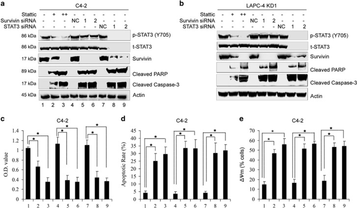 STAT3/survivin signaling pathway mediates the resistance to ADT-induced apoptosis in DAB2IP-deficient PCa. C4-2 or LAPC-4 KD cells were pretreated with specific STAT3 inhibitor Stattic (10 or 20 μ M) for 1 h or transfected with siRNA oligonucleotides specific to STAT3 or survivin for 24 h, and then cultured in Phenol Red-free RPMI-1640+5% CS-FBS for another 48 h. ( a and b ) Cell lysates after treatment were subjected to western blotting for detecting p-STAT3 (Y705), t-STAT3, survivin, cleaved PARP and Caspase-3. Actin was used as a loading control ( c ) C4-2 cells after treatment were cultured in Phenol Red-free RPMI-1640+5% CS-FBS for another 48 h and cell growth was determined by MTT assay. ( d ) C4-2 cells after treatment were cultured in Phenol Red-free RPMI-1640+5% CS-FBS for another 48 h, then subjected to Annexin V/FITC staining and flow cytometric analysis. ( e ) C4-2 cells after treatment were cultured in Phenol Red-free RPMI-1640+5% CS-FBS for another 48 h, then subjected to JC-1 staining and flow cytometric analysis. All data (means±S.E.M.) shown in c , d and e were obtained from three independent experiments. * P