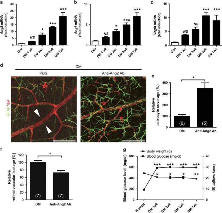 Inhibition of Ang2 reduces the astrocyte loss and vascular leakage in early diabetic retina. ( a – c ) Retinal mRNA was determined in 1, 3, 5, and 7 weeks from streptozotocin-induced diabetic mice (DM) and control mice (Con) retinas by qPCR, and normalized to Rn18s mRNA. ( a ) Ang2 mRNA. ( b ) Ang1 mRNA. ( c ) Vegfa mRNA. ( d – f ) Anti-Ang2-neutralizing antibody (Anti-Ang2 Ab, 1 μ g) or PBS was intravitreally injected to 2-week-old DM. Retinal astrocyte and retinal vascular leakage were evaluated 1 week after the injection in 3-week-old DM. ( d ) Focal astrocyte loss shown in diabetic retina (PBS) is rescued in anti-Ang2 Ab-injected diabetic mice (original magnification × 400; scale bar, 100 μ m). White arrowheads indicate loss of astrocytes on diabetic retinal vessels. ( e ) Relative astrocyte coverage (% Anti-Ang2 Ab) is calculated by colocalized area per IB4 + vascular area and normalized to the value of control mice. ( f ) Relative retinal vascular leakage (% Anti-Ang2 Ab) with FITC-dextran is shown normalized to the value of control mice. ( g ) Body weight and blood glucose level of the STZ-induced diabetic and non-diabetic control mice at 7 weeks. The sample size for each group is indicated on the bar graph. The bar graphs represent mean±S.E.M.; * P
