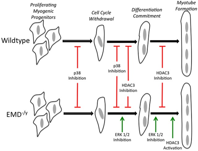 ERK, p38 MAPK and HDAC3 regulate specific transition stages during myogenic differentiation. The stages of myogenic differentiation in wild-type (top) and emerin-null (bottom) myogenic progenitors are illustrated. Inhibition of p38 MAPK activity blocks cell cycle withdrawal and commitment to myogenic differentiation in both wild-type and emerin-null progenitors. HDAC3 inhibition blocks differentiation commitment and myotube formation in both wild-type and emerin-null progenitors. ERK inhibition rescues differentiation commitment and myotube formation in emerin-null progenitors with no effect on wild-type differentiation. Activation of HDAC3 catalytic activity rescues myotube formation in emerin-null myogenic progenitors with no effect on wild-type differentiation. Green arrows indicate rescue; red lines indicate blockade of differentiation progression.