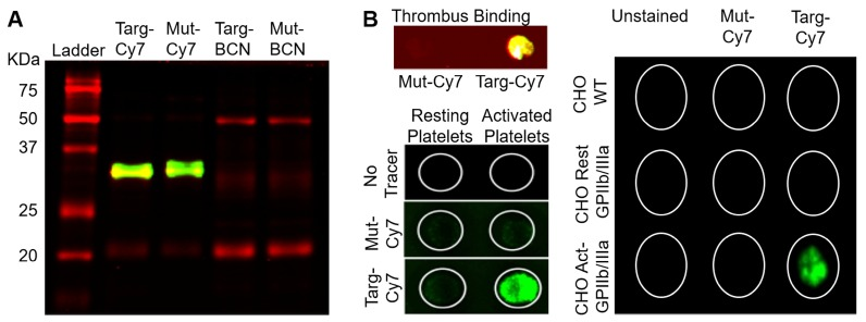 Binding specificity of targeting-fluoroprobe (Targ-Cy7) to activated-platelets. A) Both targeting- (Targ-Cy7) and mutated- (Mut-Cy7) fluoroprobes were produced using the two-step conjugation system as evidenced by NIR fluorescence on the bands of interest (33 kDa), while controls Targ-BCN and Mut-BCN lacked any Cy7-800 nm fluorescence. B) The functionality of the Targ-Cy7 after the conjugation to bind activated-platelets was also ascertained. Ability to bind activated-platelet-rich thrombus (Figure 2 B top left panel: yellow indicating Cy7-800 nm fluorescence), in vitro activated-platelets (Figure 2 B bottom left panel: green indicating Cy7-800 nm fluorescence) and CHO cells expressing the activated GPIIb/IIIa (Figure 2 B right panel: green indicating Cy7-800 nm fluorescence) was only limited to the targeting FLECT fluoroprobe, Targ-Cy7.