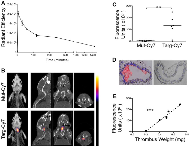 Circulatory in vivo half-life of the FLECT fluoroprobe and its use in FLECT/CT imaging of mice with left carotid ferric chloride induced thrombus. A) Mice (n=5) were i.v. injected with 1 µg/g of Targ-Cy7 and blood was collected at different time-points (0, 5, 30, 60 120, 240 and 1440 minutes). The NIR fluorescence signal in the collected samples was determined by the IVIS ® Lumina imager and quantified as shown. B) Upon arterial thrombus formation using the ferric chloride model, mice were i.v. injected with either mutated (Mut-Cy7; top panel) or targeting-fluoroprobe (Targ-Cy7; bottom panel) and allowed to circulate before they were scanned on the FLECT/CT imager. Following data reconstruction, coregistration and analysis, a representative comparison of maximum-intensity projection of FLECT/CT images of Mut-Cy7 (n=6) and Targ-Cy7 (n=6) mice is shown. The colour scale for each FLECT/CT image shows levels of detected NIR fluorescence with white corresponding to the highest intensity and blue the lowest. C) Using Invivoscope software, the region of interest around the left carotid artery was determined, and detected fluorescence intensity was quantified between groups of mice (**: p ≤ 0.01; Mann-Whitney nonparametric test, p= 0.0022). D) A representative micrograph of the ferric chloride-injured carotid artery (top) and the contralateral uninjured carotid artery (bottom), where nuclear stain (DAPI) is blue, and platelet-specific (CD41- Allophycocyanin) is red. E) Further analysis of the detected FLECT-signal in each mouse shows a strongly significant correlation to the weight of its ex-vivo thrombus (using Pearson's correlation analysis: r = 0.9807 and p= 0.0006, ***).