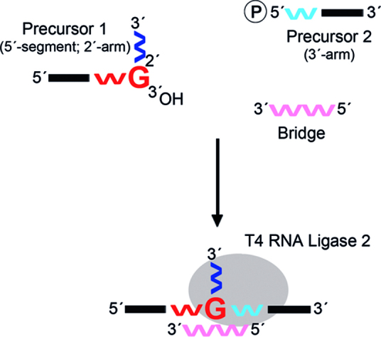 Scheme of the splinted-ligation method in bRNA construction. In this method, a 2΄-5΄ linked ribo-guanosine (G)-nucleoside in an RNA strand containing the 5΄-segment and 2΄-arm (precursor 1) is transformed into a branchpoint nucleotide by ligation to an RNA strand representing the 3΄-arm (precursor 2). To do so, the two precursors are hybridized partially to a complementary RNA bridge. In this way, the 5΄-phosphate of precursor 2 is brought close to the free 3΄-hydroxyl of the 2΄-5΄ linked nucleoside of precursor 1. The two oligonucleotides are then joined by T4 RNA Ligase 2. Red, blue, and pink symbols 'w' represent RNA; the black line represents DNA. The 2΄-5΄ linked ribo-G-nucleoside in precursor 1 at nucleotide (nt) position 37 is highlighted. Nucleic acids downstream of a 2΄-5΄ linkage are plotted vertically in linear and branched oligonucleotides.