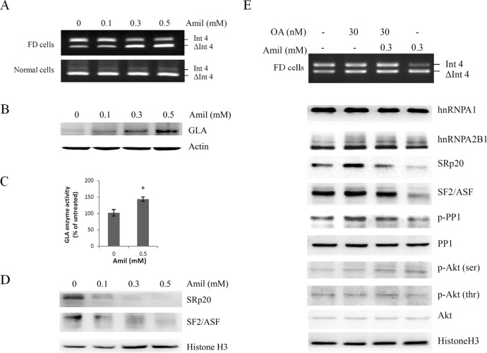 Effects of amiloride on the regulation of GLA (IVS4 + 919G > A) splicing. Cells were treated with different concentrations of amiloride for 24 hours and then harvested for RT-PCR analysis (A), or Western blot analysis (B,D). Actin and Histone H3 were used as internal standards. (C) The result of enzyme activity assay from FD cells after the treatment with or without amiloride for 24 hours. Data were presented as the mean ± standard deviation from three independent experiments. Asterisk represents significant difference ( p -value