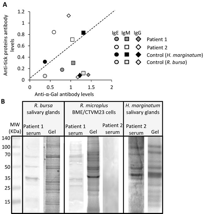 Patient-specific antibody response to tick species responsible for the reported anaphylactic reaction to tick bite A . Correlation analysis between IgE, IgM and IgG antibody levels against R. bursa or H. marginatum tick proteins and α-Gal in patients 1 and 2 and healthy control individual. Antibody levels were determined as OD at 450 nm and shown as the average of 4 technical replicates. B . The IgE response to R. bursa and H. marginatum salivary gland and R. microplus BME/CTVM23 tick cell proteins was analyzed by 1-D Western blot using patient 1 and 2 sera. Abbreviation: MW, molecular weight protein marker.