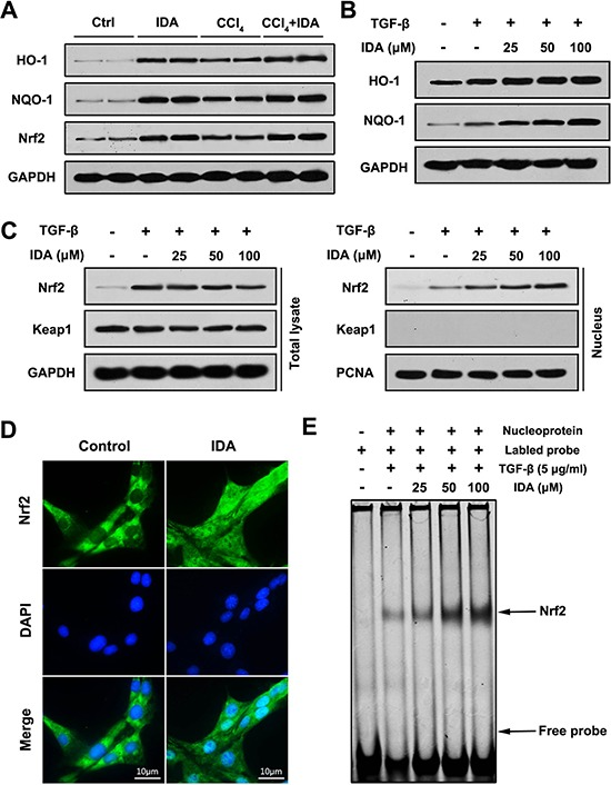 IDA activates Nrf2 signaling in CCl4-treated mice and TGF-β-treated LX2 cells ( A ) The expressions of HO-1, NQO-1 and Nrf2 in liver were determined by western blotting (Two randomly samples in each group were presented). ( B – C ) LX2 cells were pretreated with series doses of IDA (25 uM, 50 uM or 100 uM) for 1 h and then treated with or without TGF-β (5 ng/ml) for 1 h. The expressions of HO-1 and NQO-1 were assayed by western blotting. The expressions of Nrf2 and keap1 in total lysate and nucleus were measured by western blotting. ( D ) LX2 cells were treated with PBS or IDA (100 uM) for 1 h. The nuclear translocations of Nrf2 were determined by immunofluorescence assay. ( E ) LX2 cells were pretreated with series doses of IDA (25 uM, 50 uM or 100 uM) for 1 h and then treated with or without TGF-β (5 ng/ml) for 1 h. The DNA binding activity of Nrf2 was measured by EMSA.