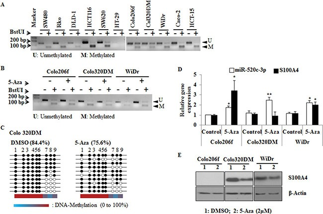 COBRA and bisulfite sequencing analysis of miR-520c regulatory region ( A , B ) COBRA analysis using the restriction enzyme BstUI was performed to estimate the methylation status of miR-520c-3p in CRC cell lines. Colo206f, Colo320DM and WiDr were also analyzed after 5-Aza (2 μm) treatment for 3 days. ( C ) Colo320DM cells were treated with 2 μM 5-Aza for 3 days and the methylation of miR-520c-3p was analyzed by bisulfite sequencing. From each group 10 representative clones were sequenced. Each circle represents CpG islands in the sequenced region, and the black circle represents the methylated and the empty white circle represents unmethylated CpG island. ( D , E ) qRT-PCR of miR-520c-3p, S100A4 and Western blot analysis of S100A4 were performed after 5-Aza treatment of Colo206f, Colo320DM for 3 days (20 μg of total protein used for Western blot) and WiDr (5 μg of total protein used for Western blot) cell lines (from low to moderate S100A4 expressing cells). RNUB6, RPII and β-actin served as internal controls. ( *p
