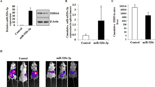 Overexpression of miR-520c-3p inhibits metastasis formation in vivo ( A ) HCT116 cells stably expressing miR-520c-3p or control-miR were generated. The overexpression of the miR was quantified by qRT-PCR and compared to control-miR. The expression of the target gene S100A4 in the miR overexpressing cells was downregulated as indicated by Western blotting. ( B ) The cells were intrasplenically injected in SCID beige mice and sacrificed after 20 days. The expression of miR-520c-3p in the shock-frozen primary tumor in the spleen was quantified by qRT-PCR. ( C ) Metastasized cells into the liver of the animals were analyzed using specific primers to exclusively detect HMD by qRT-PCR. Less amounts of HMD were detectable in the liver sections of the miR-520c-3p overexpressing group. ( D ) The cells were intrasplenically injected in SCID beige mice and tumor and metastasis formation was monitored by bioluminescence imaging. Representative mice from each group are shown on the day the animals were sacrificed. ( *p