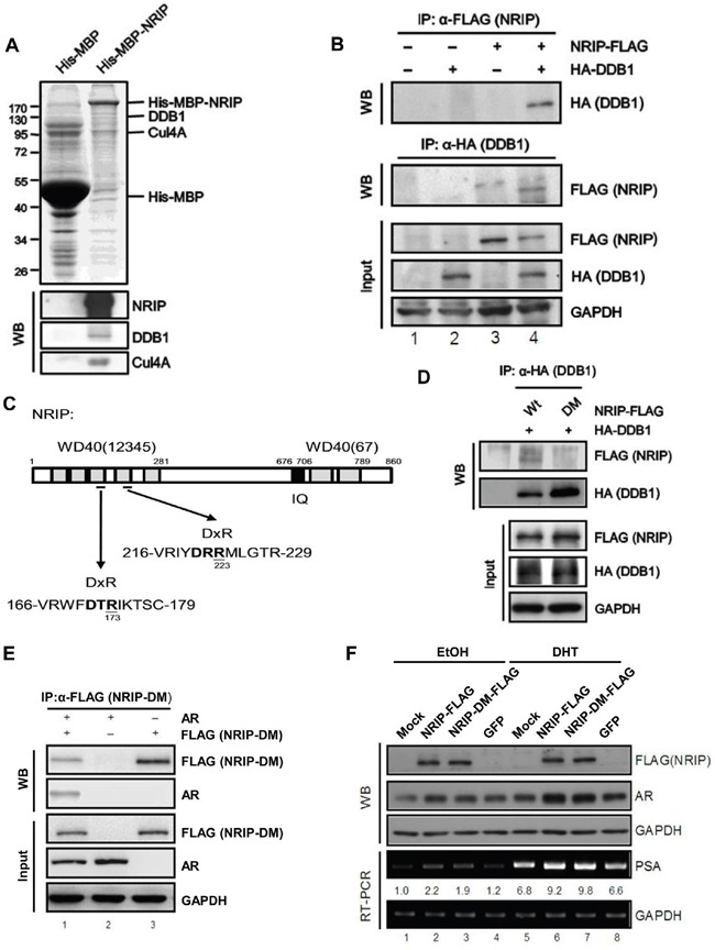 NRIP is involved in the CUL-DDB1 E3 ligase mechanism by interacting with DDB1 and associating with the DDB1-CUL4 complex through its DxR motif A . NRIP is involved in the CUL4A-DDB1 complex. His-MBP and His-MBP-NRIP were expressed from bacteria and purified using Ni-NTA beads. The beads conjugated with recombinant proteins were incubated with the lysates of HeLa cells and the co-purified proteins were separated by SDS-PAGE and analyzed by Coomassie blue staining (upper panel) or western blotting (lower panel) using the antibodies indicated. B . The interaction between NRIP and DDB1. Calcium phosphate was used to transfect 293T cells with NRIP-FLAG and HA-DDB1 plasmids. Cell lysates were collected 48 h after transfection and immunoprecipitated with anti-FLAG or anti-HA antibodies for detection of NRIP or DDB1, respectively. C . A schematic depiction of the protein DxR motif of NRIP. Aspartic acids at 173 and 223 in the regions bounded by amino acid residues 166 to 179 and 216 to 229 were replaced by alanine using site-directed mutagenesis and named NRIP-DM. D . NRIP-DM lost DDB1 binding. 293T cells were cotransfected with the wild-type NRIP or NRIP-DM mutant with HA-DDB1, cell lysates were extracted and immunoprecipitated with anti-HA antibodies for detection of DDB1 and immunoblotted with anti-FLAG for detection of NRIP and NRIP-DM. E . NRIP-DM interacted with AR. After cotransfection of 293T cells with FLAG-tagged NRIP-DM and AR, cell extracts were subjected to immunoprecipitation with anti-FLAG or anti-AR antibodies and the immunoprecipitated proteins analyzed by western blotting using anti-AR or anti-FLAG antibodies, reciprocally. The loading of the cell extracts represents 10% of the input used for immunoprecipitation to assess comparable protein levels. F . AR protein stabilization was independent of NRIP and DDB1 interaction. LNCap cells were transfected with NRIP-FLAG, NRIP-DM-FLAG, and GFP, respectively. After 24 h, cells were treated with 10 nM DHT for 24 h