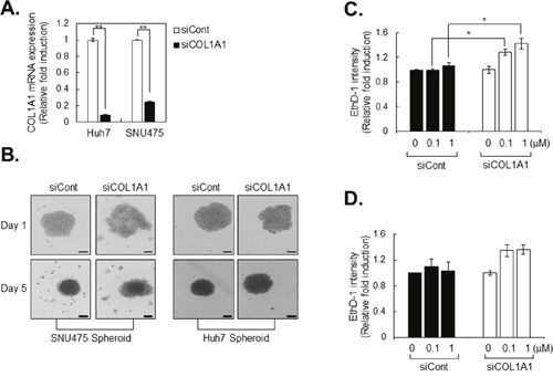 Drug sensitivity is increased in COL1A1 knockdown HCC cell lines A . Collagen 1A1 mRNA expression in control (siCont) and COL1A1 knockdown HCC cell lines (siCOL1A1). Expression of mRNA was evaluated by real-time PCR, and the values were normalized to GAPDH. The values of siCOL1A1 were normalized to siCont. B . After transfection of HCC cell lines with siCont and siCOL1A1, the capacity of spheroid formation was evaluated for 5 days. C, D . After 3 days of spheroid formation, Huh7 spheroids were treated with sorafenib (C) or cisplatin (D) for another 4 days. On the final day of treatment (at 7days from cell seeding), spheroids were stained with ethidium homodimer-1 (EthD-1) to evaluate the extent of cell death. After image acquisition, EthD-1 intensity was measured using the same method. The values were normalized to control (0μM) of each group. Data represent the mean values ± SD from two independent experiments. *p