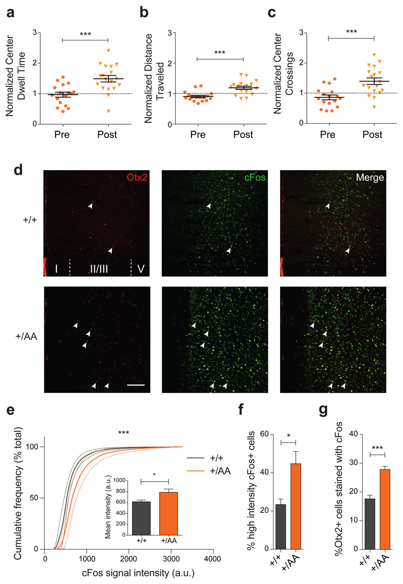 Anxiolysis and recruitment of mPFC circuits following music exposure in Otx2 +/AA mice. ( a-c ) Open field behavior in the first 30 minutes reflecting exploratory anxiety are compared before (Pre) and after (Post) two-week exposure of Otx2 +/AA mice to music. Several parameters are compared: ( a ) duration of time spent at the center of the open field, ( b ) total distance traveled in the field, and ( c ) number of times crossing the center of the open field. All data are normalized to WT littermates conditions (N=17 mice per genotype). ( d-g ) Immunofluorescence staining of Otx2 and cFos in mPFC reveals circuit activation after 1h of music exposure. ( d ) Representative images of Otx2 and cFos staining in mPFC at P60 (scale bar: 100 µm , cortical layers I-V are labeled). cFos signal intensity between genotypes is compared under several parameters: ( e ) cumulative frequency plot, ( inset ) mean intensity (arbitrary unit, a.u.), ( f ) percentage of high intensity cFos+ cells. ( g ) Percentage of Otx2+ cells co-localized with cFos staining (indicated by arrowheads in ( d ) (N=5 mice per genotype). (All values: mean ± SEM; t-test in a-c and f-g , K-S test in e ; *p