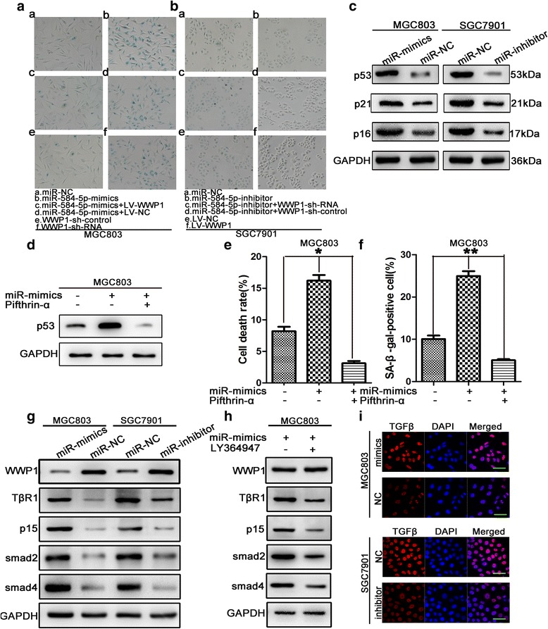 miR-584-5p promoted cellular senescence and negatively regulated TGFβ signaling pathway via downregulation of WWP1. a . miR-584-5p up-regulation or WWP1-shRNA promoted cellular senescence by detecting SA-β-gal activity. The rescue experiments for miR-584-5p overexpression were performed by ectopic expression of WWP1 without its 3'-UTR in MGC803 cells. b . Similar rescue experiments for miR-584-5p silencing was performed by down-regulation of WWP1 in SGC7901 cells. c . The expression levels of senescence-related proteins were evaluated by Western blot. d . Expression of p53 signifcantly increased by miR-584-5p was ameliorated by the p53 inhibitor pifthrin-α. e . Treatment of pifthrin-α signifcantly receded miR-584-5p induced apoptosis of the MGC803 cells which was measured in a flow cytometer. f . Positive SA-β-Gal stained cells induced by miR-584-5p was confined by treatment of pifthrin-α. h . Levels of key proteins involved in TGFβ signaling by western blot. i . Levels of key proteins involved in TGFβ signaling in MGC803 cells treated with LY364947 were measured by western blot. j . The expression level of TGFβ was determined in MGC803 and SGC7901 by immunofluorescence assays. Scale bar is 25 μm. * p