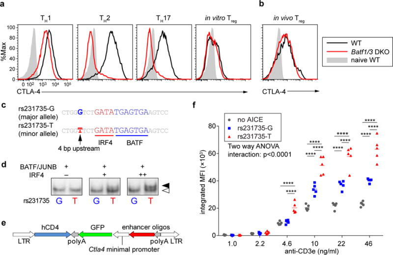 Human CTLA4 SNP affects BATF-IRF4 DNA binding affinity and enhancer activity. ( a ) Flow cytometry analyzing CTLA-4 expression in indicated helper T cell subsets cultured on crosslinked anti-CD3ε and anti-CD28 for 4 days under T H 1 (anti-IL-4, IL-12 and IFN-γ), T H 2 (anti-IL-12, anti-IFN-γ and IL-4), T H 17 (anti-IFN-γ, anti-IL-12, anti-IL-4, IL-6, TGF-β and IL-1β), Treg (anti-IFN-γ, anti-IL-12, anti-IL-4, TGF-β) conditions. ( b ) Flow cytometry analyzing CTLA-4 expression in CD3 + CD4 + Foxp3 + T cells in mesenteric lymph node. Data are representative of two replicates. ( c ) Sequences of human SNP rs231735 ( CTLA4 -38kb). ( d ) EMSA using nuclear extract of HEK293 FT cells expressing BATF, JUNB and varying amounts of IRF4 with probes based on of rs231735-G and rs231735-T. ( e ) Structure of reporter retrovirus for ( f ). ( f ) Integrated MFI analysis of reporter activity in T H 2 cells expressing retroviral reporter construct containing no AICE, rs231735-G, or rs231735-T. Two-way ANOVA with Tukey's multiple comparison; **** P