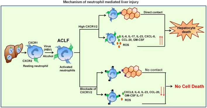 Mechanism of neutrophil-mediated liver damage in ACLF . Induction of neutrophils by virus (HBV) or alcohol leads to hyper activation resulting in increased CXCR1/2. Neutrophil then migrate toward liver where they contact to hepatocytes in CXCR1/2-dependent mechanism and induce cell death. High CXCR1/2 increases the production of reactive oxygen species (ROS) and pro-inflammatory cytokines which leads to protracted inflammation, tissue destruction, and ultimately organ dysfunction. Blockade of CXCR1/2 not only reduced contact-dependent cell death but also abridged production of ROS and pro-inflammatory mediators, thereby decreasing the inflammatory response and liver damage.