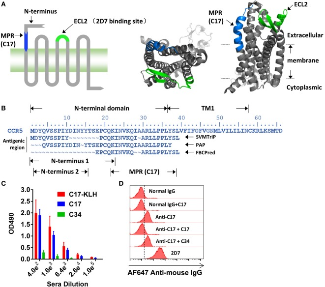 Inducing membrane-proximal region (MPR)-specific antibodies in mice . (A) C–C chemokine receptor type 5 (CCR5) consists of an N-terminal, three extracellular loops (ECLs), three intracellular loops, and a C-terminal tail. The structure of CCR5 was rendered by Pymol software based on a previously reported structure 4MBS ( 7 ). MPR and ECL2 are highlighted in blue and green, respectively. ECL2 contains a binding site for 2D7. (B) The amino acid sequence of N-terminal domain and first transmembrane helix (TM1) of CCR5. The antigenic regions were predicted by SVMTrip, PAP, and FBCPred methods and shown under the sequence of CCR5. (C) Balb/c mice were immunized with one dose of C17-keyhole limpet hemocyanin (KLH) plus complete Freund's adjuvant, one dose of C17-KLH plus incomplete Freund's adjuvant (IFA), and two doses of a mixture of C17-KLH, C17 peptide, and IFA. Sera were collected 1 week after the last immunization and antibody titers against C17-KLH, C17, or an irrelevant C34 peptide were measured by enzyme-linked immunosorbent assay. n = 3. (D) Total IgGs were purified from antiserum, designated as anti-C17. The binding of anti-C17 to CCR5 expressed on the cell surface of Ghost-R5 cells was determined by flow cytometry. Normal IgGs purified from the sera of un-immunized mice served as a negative control, while 2D7 served as a positive control. Alexa Fluor 647-conjugated anti-mouse IgG was used as the secondary antibody. C17 peptide and an irrelevant C34 peptide were used to confirm the binding specificity. Data are presented as mean ± SEM. All experiments were repeated twice with similar results.
